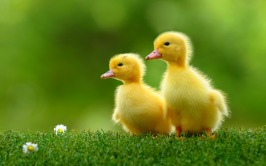 Ducklings-animals-37277449-1440-900